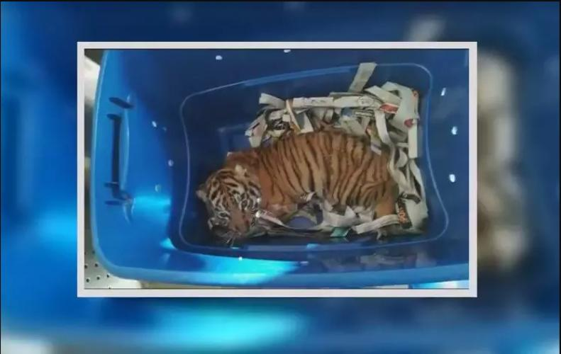 Tiger Cub in Plastic box found to be shipped illegally but sniffed by Dog saving the life of animals.