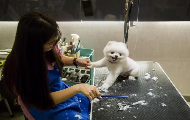 Hong Kong dog gets milk Spa and manicure treatment in Hong Kong while leaving humans for its luxury