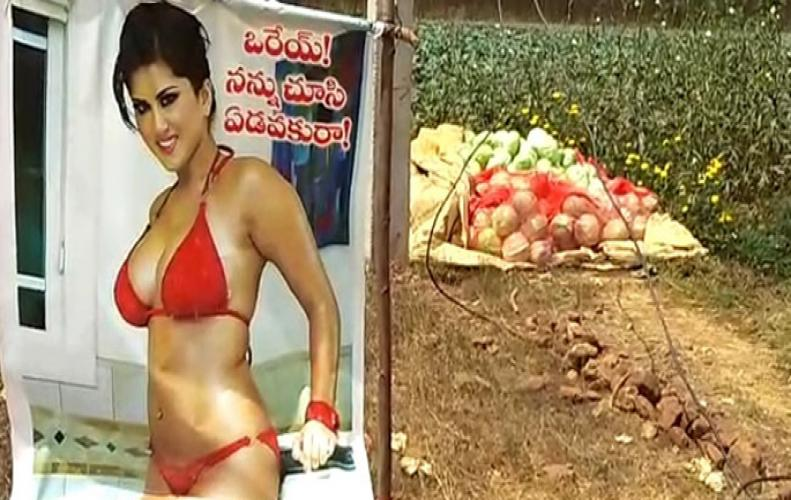 Sunny Leone Poster hanged in farm deployed to ward off evil eyes by Indian farmer.