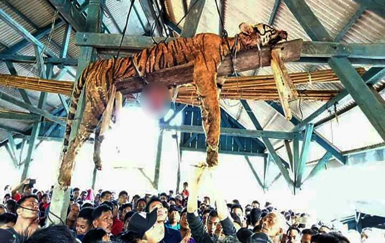 Endangered Sumatran tiger labeled as Shape Sifter hanged by Villagers