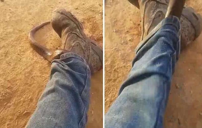 Watch: Video where a man removes a deadly snake nearby to his trouser snake.