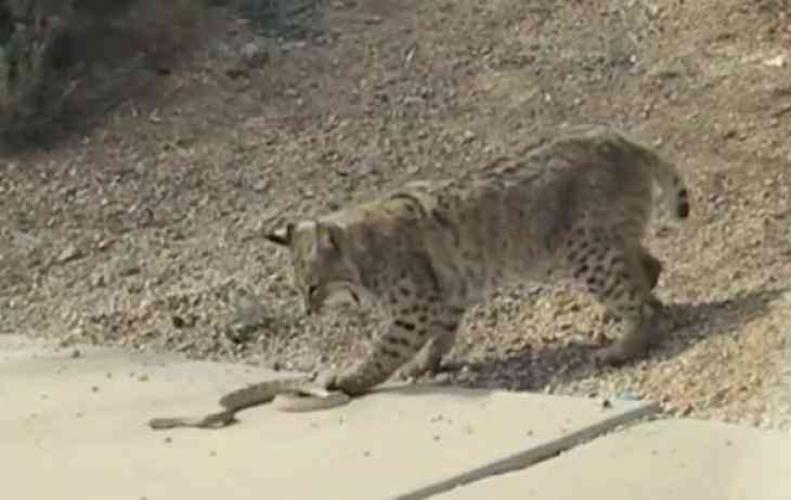 Its Rattlesnake Vs. Bobcat live watch video.