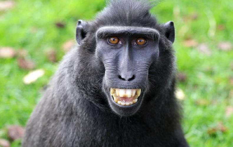 Monkey Selfies final judgement arrives in favor of Wikipedia