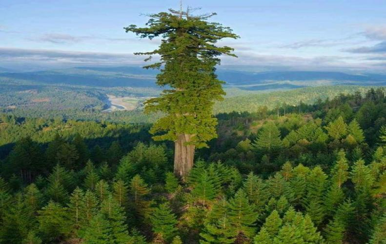 Amazing Natural wonders Top Ten Tallest Trees on the planet