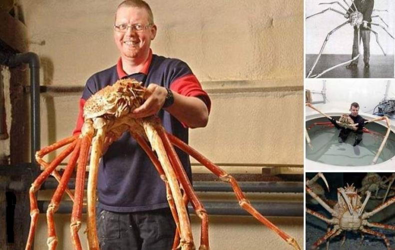 Japanese Spider Crab that are Giant Enough that will not let You Sleep