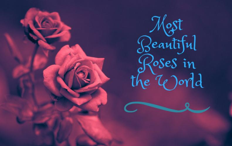 List of Most Beautiful Roses in the World