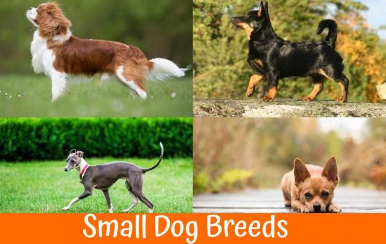 Small Dog Breeds that are Most Adorable and Cutest