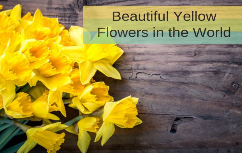 Types of yellow flower storytimes list of top 30 beautiful yellow flowers in the world mightylinksfo