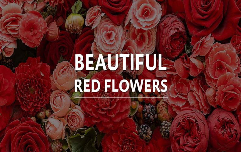 Most Beautiful Red Flowers - List of Top 25
