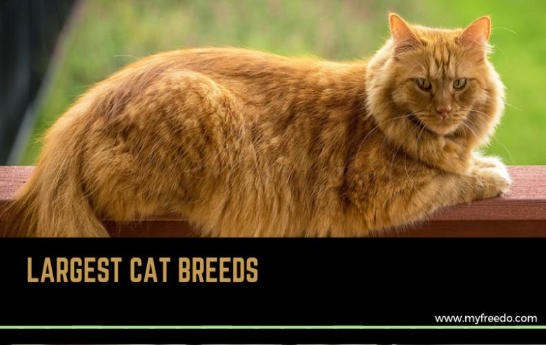Largest Cat Breed in the World