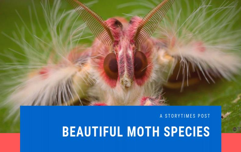 Most Beautiful Moth On The Planet