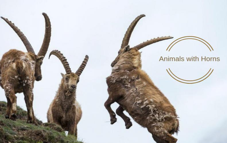 Beautiful Animals with Horns | The List of Top 10