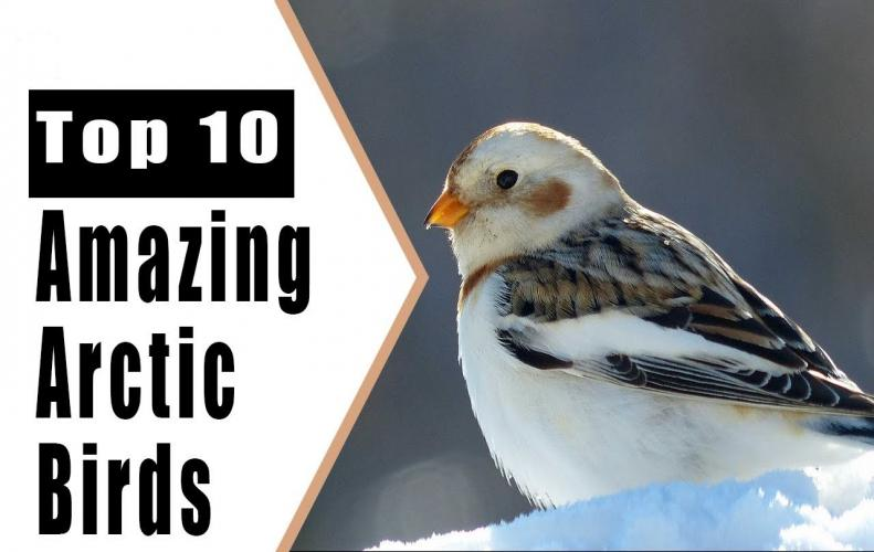 Arctic Birds that are Truly Amazing | The List of Top 10