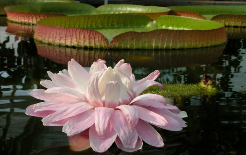Amazing Aquatic Flowers in the World