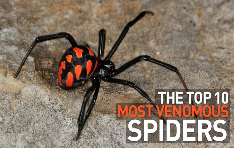 Most Dangerous Spiders in the World | The List of Top 10