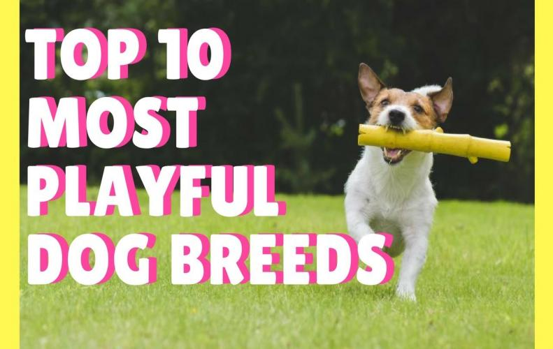 Most Playful Dog Breeds in the World | The List of Top 10