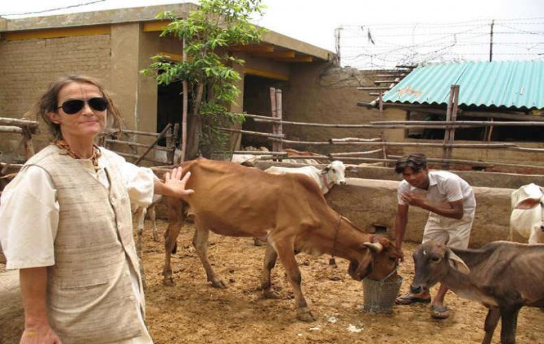 भारतीय गायों की विदेशी सेवादार, अजीबोगरीब है कहानी