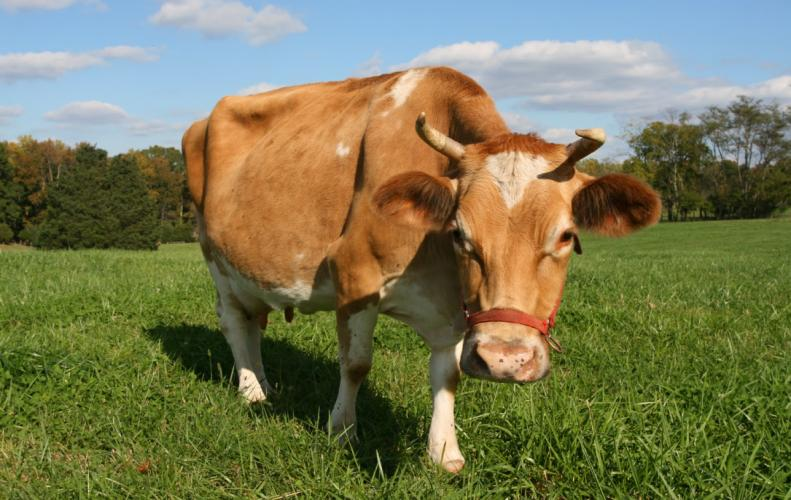 किसान होंगे खुशहाल अधिक दुग्ध देने वाली पशुओं पर मिलेंगे 2 लाख रुपये.