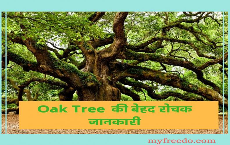 बलूत पेड की बेहद रोचक जानकारीयॉ   Interesting Information of Oak Tree in Hindi
