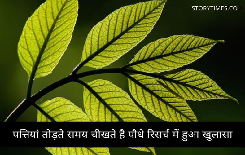 पत्तियां तोड़ते समय चीखते है पौधे रिसर्च में हुआ खुलासा | Plant pain Caused Breaking Leaves In Hindi
